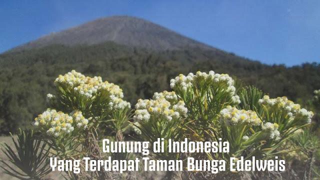 Gunung di Indonesia Yang Terdapat Taman Bunga Edelweis